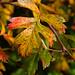 Hawthorn colours