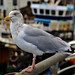 Brixham Gull