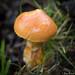 Larch Bolete (Suillus grevillei )