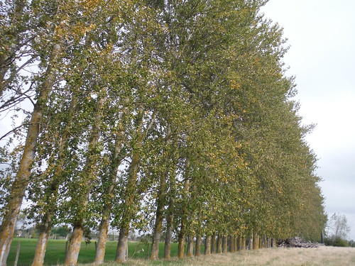 Row of Poplars, Cambridge Farm