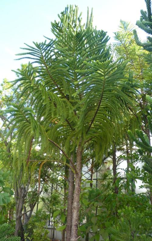 Araucaria laubenfelsii 36980942773_a4b56d8ac1_o