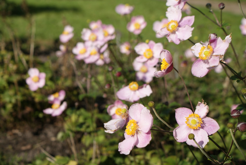 Anémones roses du Japon dans le jardin botanique de Frederiksberg (Copenhague).