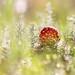 Fly Agaric (Amanita muscaria)