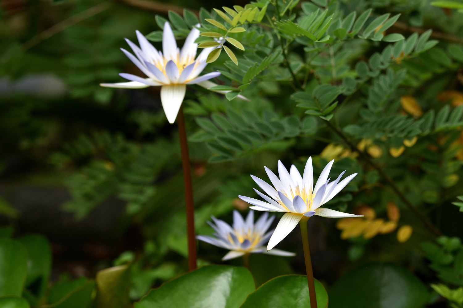 Water_Lily_2185