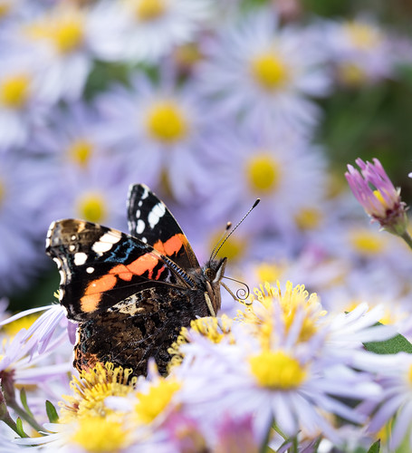 Red Admiral (Explored)