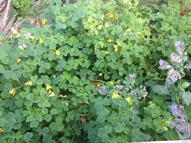 Oca flowers