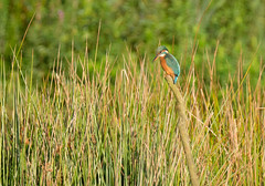 HolderDistant Kingfisher
