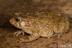 Sclerophrys capensis - Raucous Toad.