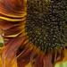 2017 09 01 - sunflower 2