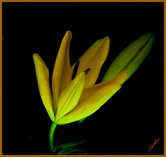 Emerging lily
