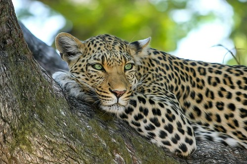 Leopard. From Africa Overland Tours: What You Need to Know