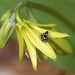 Jumping Spider on Lily