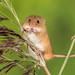 Harvest mouse with the munchies!