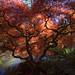 Sunlight-filtered Japanese Maple Tree in Kubota Garden by Paul Scearce