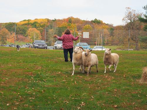 Herding Dog Show