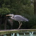 Tommy the Grey Heron
