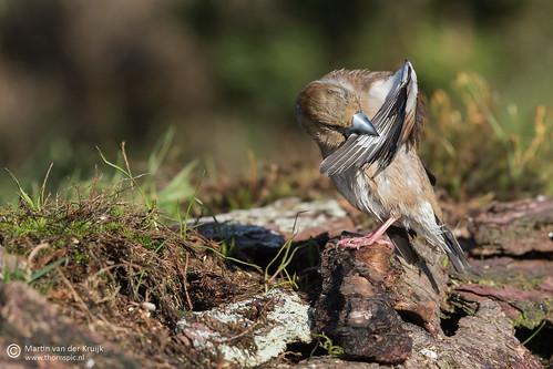 Hawfinch - Appelvink