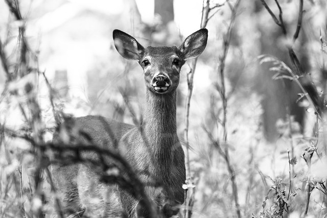 The Young Doe In The Woods