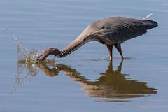 Great Blue Heron Fishing-3