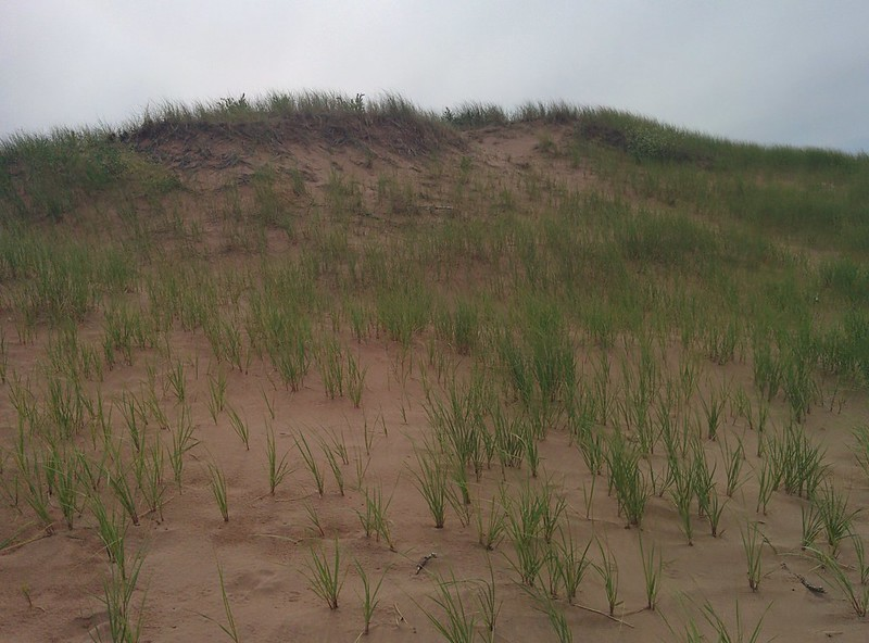 Dune and marram, North Rustico Beach #pei #princeedwardisland #northrustico #rustico #beach #dunes #marramgrass #gulfofstlawrence #latergram