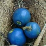 Elaeocarpus angustifolius fruit