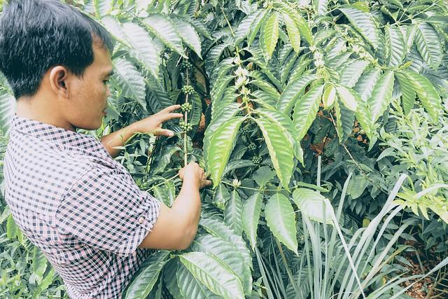 Bolaven Plateau - Mr. Vieng Coffee Plantation