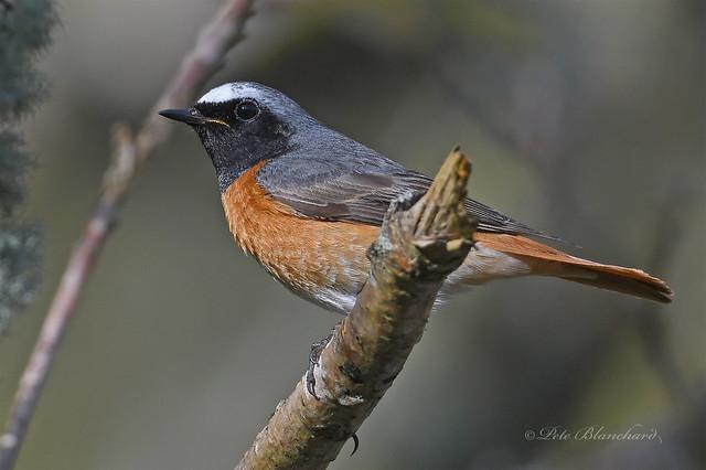 Redstart (explored)