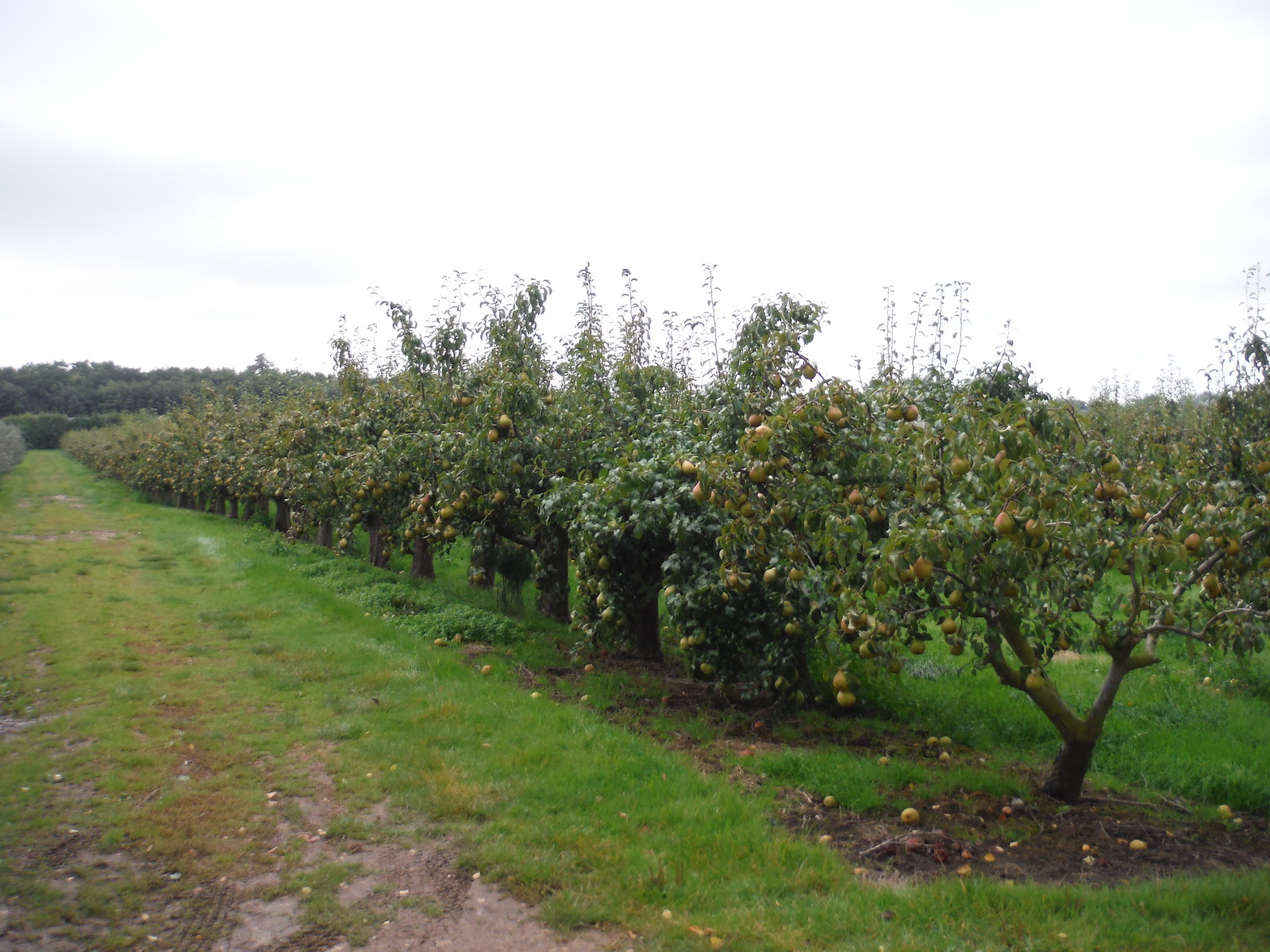Pear Orchard, Bogle SWC Walk 299 - Teynham to Faversham