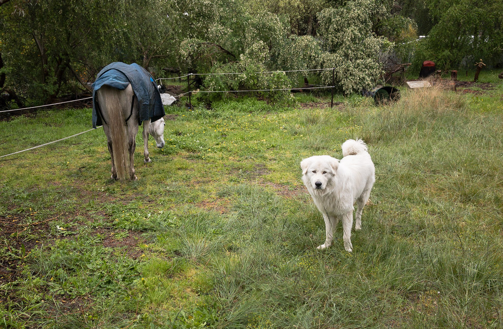 Iorek the Maremma sheep dog