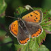 IMGP6815a Small Copper, Fen Drayton Lakes, October 2017