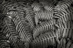 Ferns, version 2