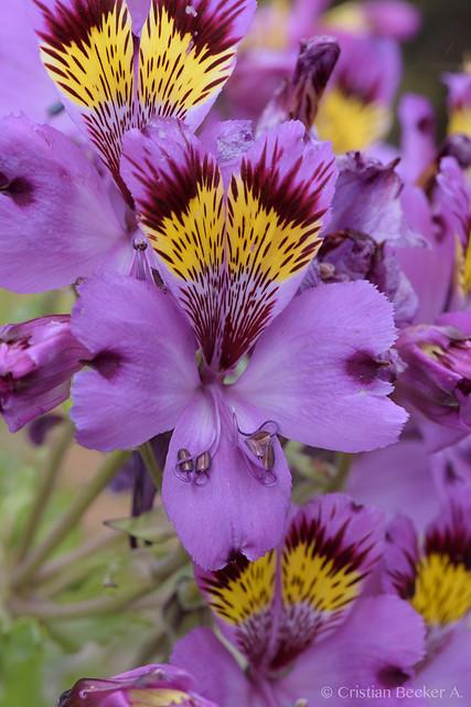 Alstroemeria philippii
