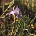 Small photo of Iris sisyrhinchium, Mehdia lupin sward