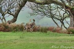 The scenic deer