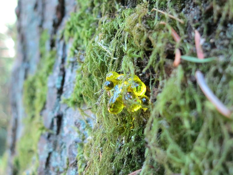 Tree resin on moss