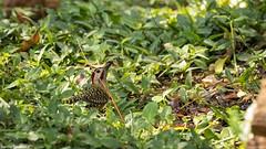 pica-pau-verde-barrado
