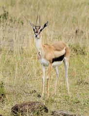 Female Thomson's Gazelle Standing in the Masai Mara