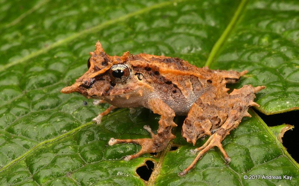 Pinocchio Rainfrog, Pristimantis appendiculatus