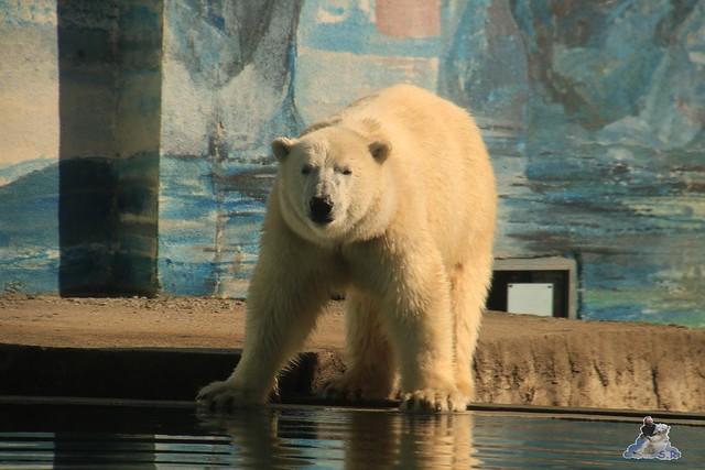 Eisbär Fiete im Allatpark Nyiregyhaza 02.10.2017  197