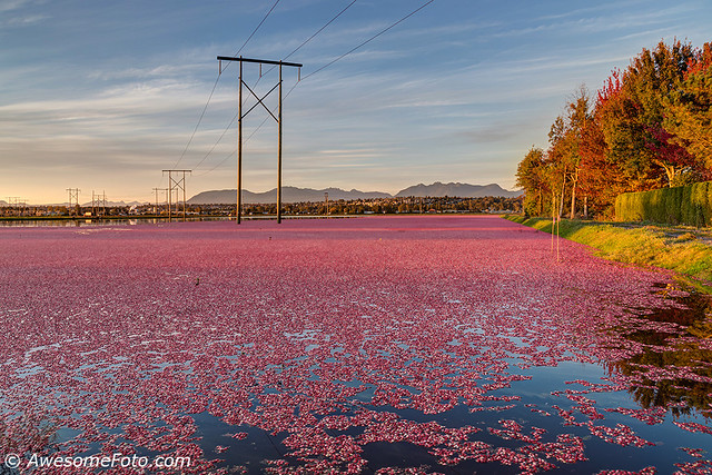 Cranberry bog at sunset