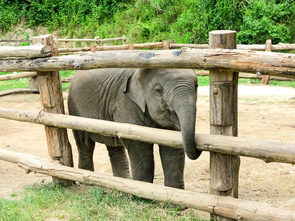 Elefante en Chiang Mai