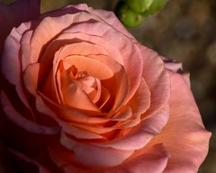 pink rose - light and shade