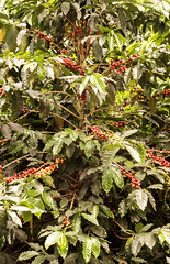 Coffee Tree, Libano, Colombia, version 1