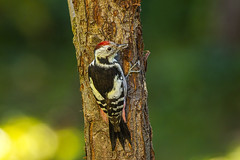 Middle spotted woodpecker  3