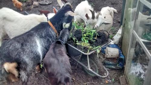 goats Oct 17 2