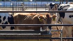 Light Brown Calf, UC Davis
