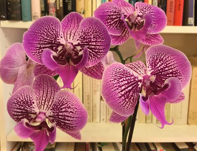 Kestävä orkidea