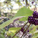 Small photo of American beautyberry