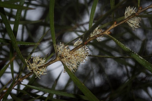 Hakea laevipes flowers