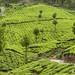 The tea plantations of Munnar, Kerala